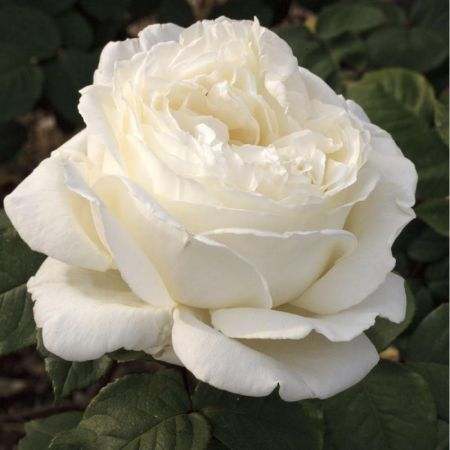 Special Occasion Rose The Diamond Wedding Rose in a 3.5 litre Pot 60th Anniversary Gift