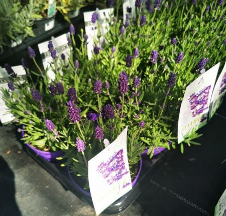 English Lavender Plant in a 12cm pot x 3.  Scented foliage Attractive to bees