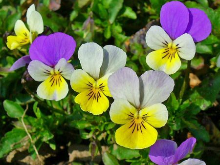 Wildflower Wild Pansy Seeds - 2.5g packet