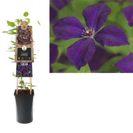 Clematis Viticella Polish Spirit plant in a 16cm Pot.  RHS AGM