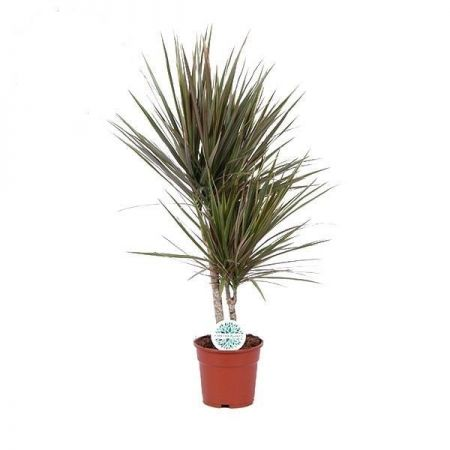 Dracaena Marg. Bicolour Twin Stem Dragon Tree House Plant in a 17cm Pot