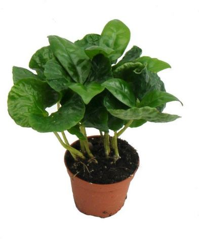 Coffee arabica House Plant in a 5cm pot. Grow your own Coffee!