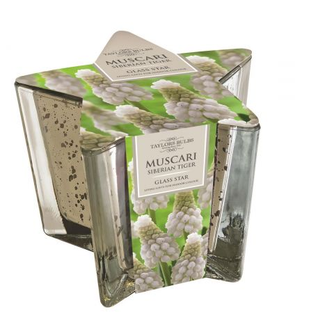 Indoor Glass Star Planter and Muscari Bulb Gift Set