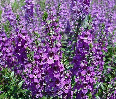 Angelonia PURPLE Plant in a 13cm pot. Summer snapdragon