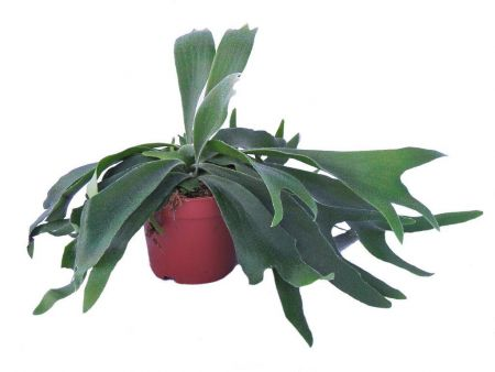 Staghorn fern. Platycerium alcicorne house plant in 12cm pot.