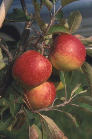 Apple (Malus) Red Falstaff tree in a 11.5 Litre Patio pot - Rootstock M27