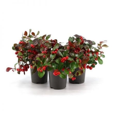 Gaultheria procumbens Big Berry hardy shrub in 9cm pot x 1. Scented Partridge or Checker Berry