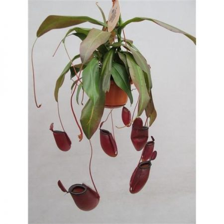 Nepenthes Dark Secret Carnivorous Plant in a 14cm Pot Pitcher Plant