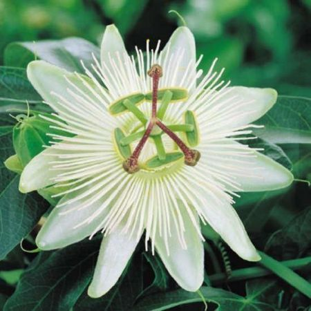 Passiflora caerula Constance Elliot passion flower climber in 16cm pot.