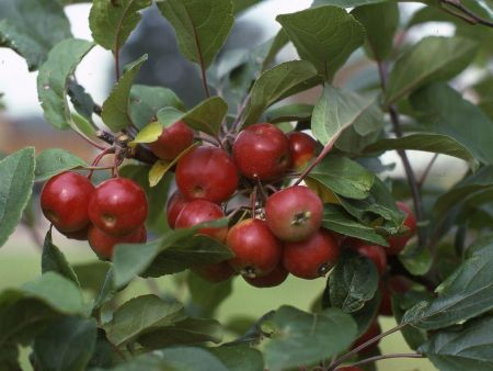 Malus Gorgeous crab apple tree in a 12 Litre container