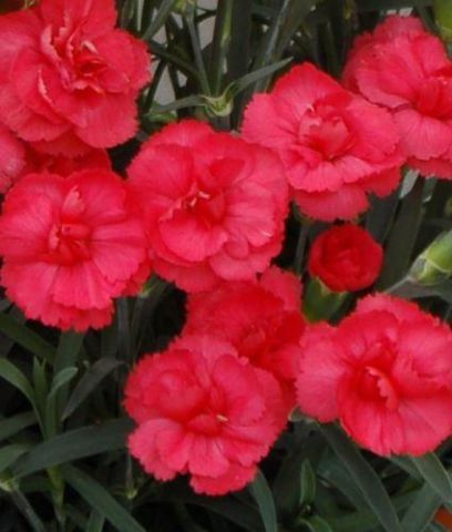 Dianthus Rosebud Plant in a 13cm pot Cottage Garde Pink Carnation