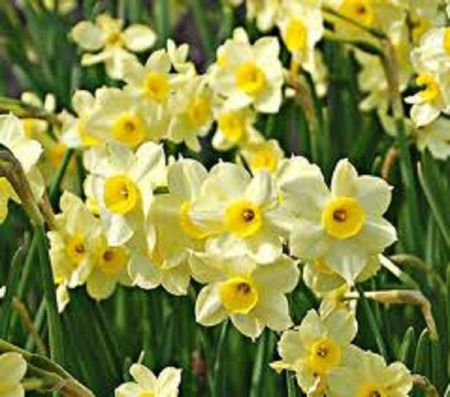 Narcissus Minnow 4 to 5 growing bulbs  / plants in a 10-12cm pot