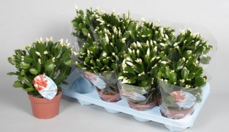Christmas Cactus House Plant in a 13cm pot. White Schlumbergera
