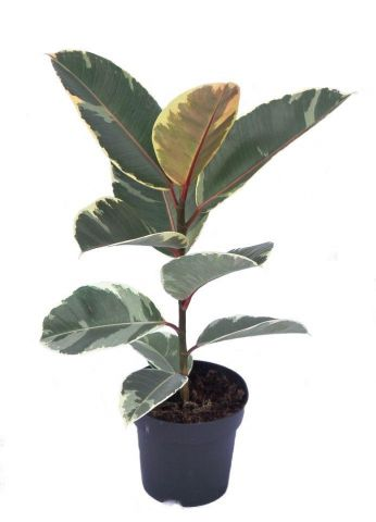 Ficus elastica Tineke. Rubber plant in a 14cm pot. House plant. Distinctive foliage.