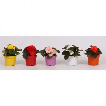 Begonia Non Stop Flowering Mix Plant in 12cm pot x 3.