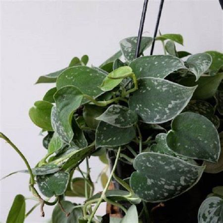 Scindapsus (Epipremnum) Silvery Ann Plant in a 14cm Hanging Pot x 1 Devils Ivy. NEW