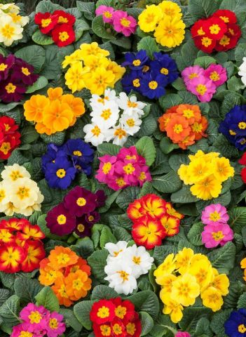 Primrose Primula MIXED colours 6 Pack Garden Ready Plants for autumn