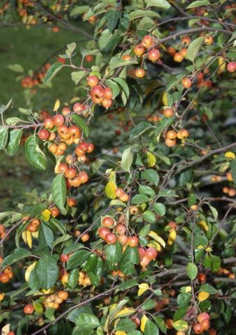 Malus Evereste crab apple tree in a 12 Litre container