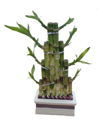 Lucky Bamboo steps design in a cream ceramic pot. Indoor house plant, bonsai for Feng Shui