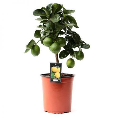 Standard Lime Citrus Tree 85cm tall. Citronella Vulcan Lime