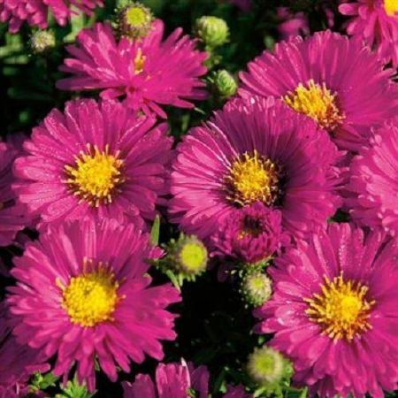 Aster Autumn Jewels Granat plant in a 13cm pot. Michaelmas daisy