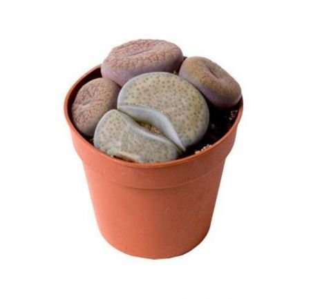 Lithops Aucampi Living Stones, Flowering Stones House Plant.