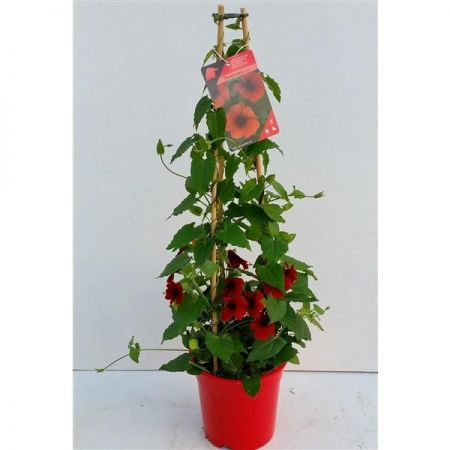 Black Eyed Susan RED Plant in a 17 cm Pot approx. 70cm tall