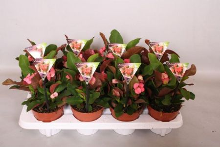 Euphorbia milii Miliana Grande Pink succulent house plant known as Crown of Thorns
