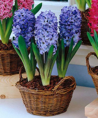 Hyacinth Delft Blue bulbs (prepared) x 4.  Indoor fragrance.  RHS AGM