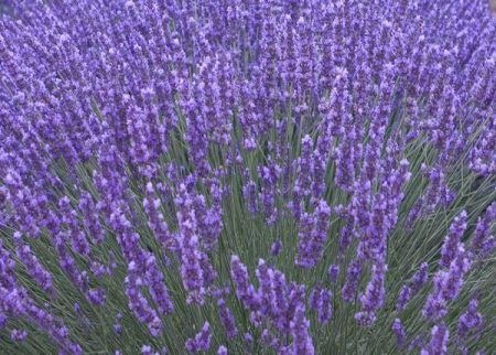 Lavender Munstead Plants 3 x 9cm pot.  Lovely scented foliage Attractive to bees