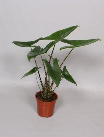 Alocasia Zebrina Exotic House Plant in a 11cm Pot
