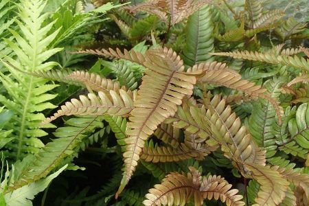 Pteris cretica Tricolour in a 13cm pot. Unusual fern house plant