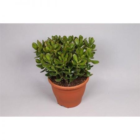 Money plant or jade tree.  Large Crassula ovata house plant in 23cm pot.  35-40cm tall.