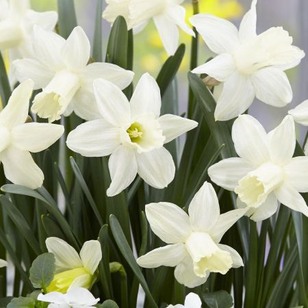 Narcissi Snow Baby bulbs x 7