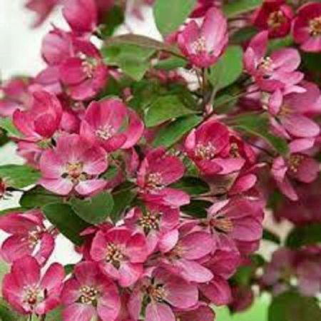 Malus Indian Magic crab apple tree in a 12 Litre container