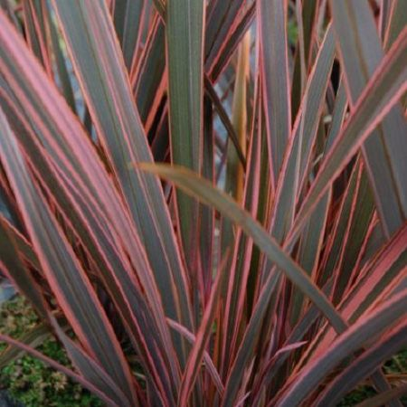 Phormium Rainbow Queen plant in a 19cm pot. Flax Lily.