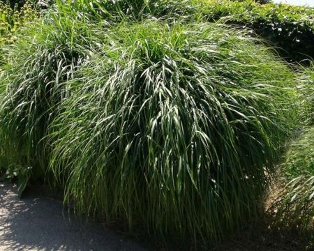 Miscanthus Yakushima Dwarf Grass Plant in a 19cm Pot
