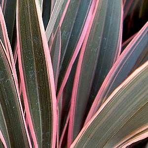 Phormium Pink Stripe plant in a 19/20cm pot. Flax Lily
