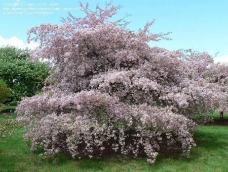 Malus Louisa crab apple tree in a 12 Litre container
