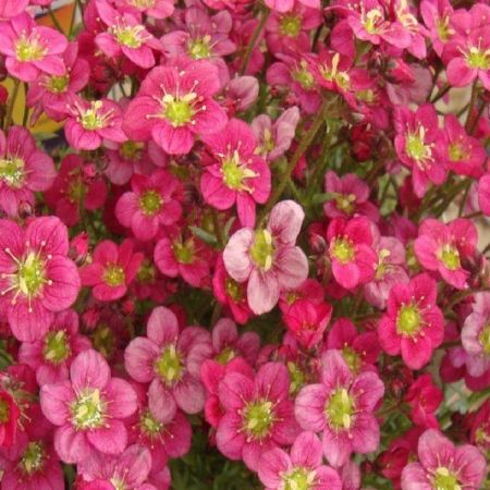 Saxifrage arendsii Mossy Red Shades in a 9cm pot x 3 Ground cover alpine
