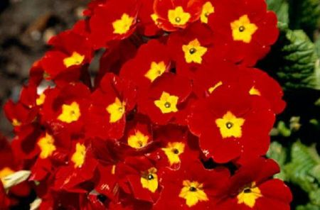Polyanthus RED Bedding Plant 6 Pack  Garden Ready Plants
