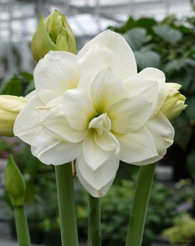Amaryllis Alfresco Gift Pack. Double Flower. Bulb pot and compost