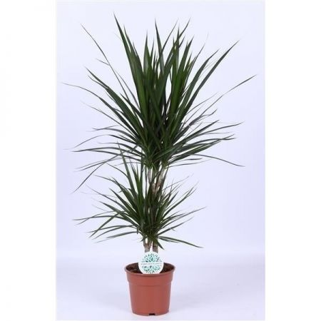 Dracaena Marginata Twin Stem Dragon Tree House Plant in a 17cm Pot