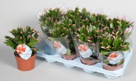 Christmas Cactus Plant in a 13cm pot. PINK Schlumbergera