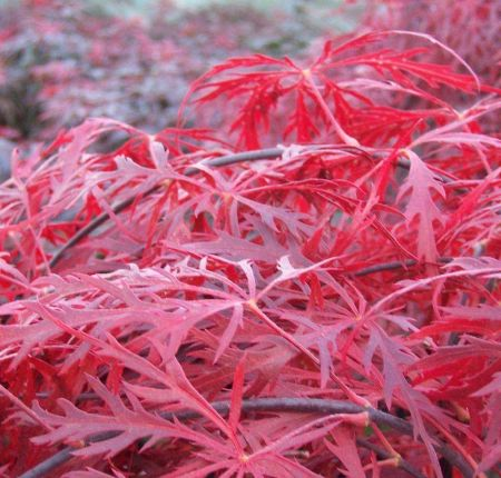 Acer palmatum var. dissectum tree in 8.5 litre pot (Patio)