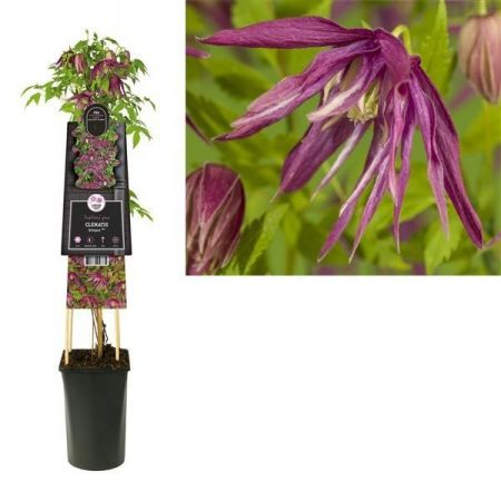 Clematis macropetala Octopus. Purple flowers in spring.  Climbing plant in 16cm pot
