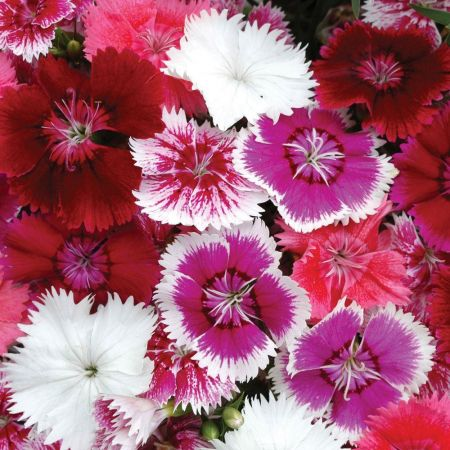 Sweet Williams (Dianthus Festival Mix) Bedding Plants 6 Pack Garden Ready Plants