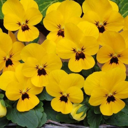 Viola Yellow Blotch Bedding plant 6 Pack Garden Ready Plants.