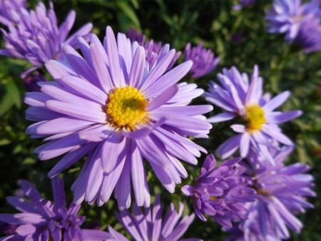 Asta dumosus Lady in Blue Perennial Plant in a 13cm Pot. Michaelmas Daisy