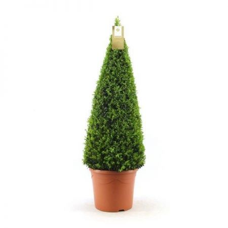 Box Pyramid Topiary Plant in a 21cm pot 75cm tall Buxus sempervirens
